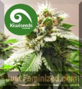 Kiwi MT Cook regular cannabis strains for sale 24hr delivery